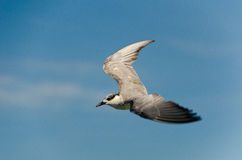 voo Brown-dirigido da gaivota Foto de Stock