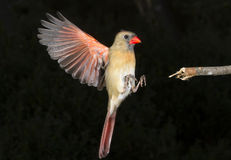 (Voo cardinal do norte fêmea dos cardinalis de Cardinalis) fotos de stock royalty free