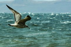 Voo cinzento da gaivota sobre o mar tormentoso foto de stock