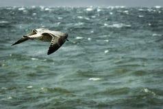 Voo cinzento da gaivota sobre o mar tormentoso fotos de stock
