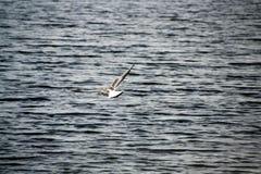 Voo comum da gaivota acima do rio Fotografia de Stock