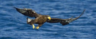 Voo da águia de mar do ` s de Steller com propagação as asas, pesca Águia de mar do ` s de Steller do juvenil Imagem de Stock
