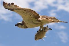 Voo da águia pescadora perto com um peixe em suas garras Fotografia de Stock