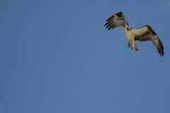 Voo da águia pescadora, San Carlos Bay, conserva da praia de Bunche, Florida Foto de Stock