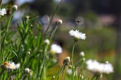 Voo da abelha Foto de Stock Royalty Free