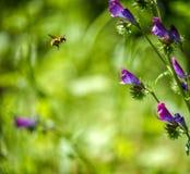 voo da abelha Imagens de Stock