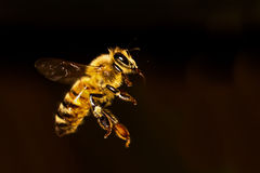 Voo da abelha do mel fotografia de stock royalty free
