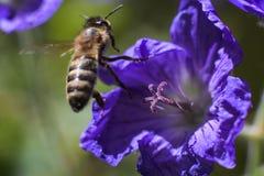 Voo da abelha longe de uma flor violeta após a alimentação imagem de stock