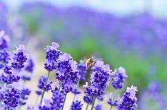 Voo da abelha na exploração agrícola da alfazema Imagem de Stock