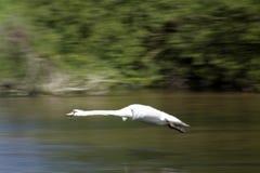 Voo da cisne acima do rio Foto de Stock Royalty Free