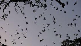 Voo da colônia do megabat (raposa de voo) no crepúsculo
