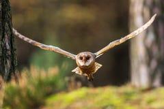 Voo da coruja de celeiro na floresta foto de stock