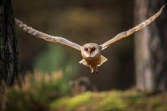 Voo da coruja de celeiro na floresta fotografia de stock royalty free