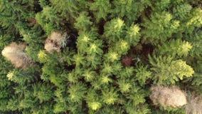 Voo da floresta das árvores do Pin no por do sol na primavera vídeos de arquivo