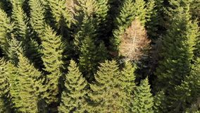 Voo da floresta das ?rvores do Pin no por do sol na primavera video estoque