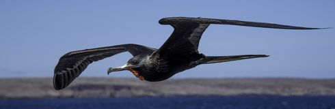 Voo da fragata de Galápagos do homem fotos de stock royalty free