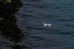Voo da gaivota Imagem de Stock