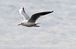 Voo da gaivota acima do rio Imagens de Stock Royalty Free
