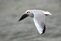 Voo da gaivota acima do rio Foto de Stock