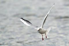 Voo da gaivota acima do rio Imagem de Stock