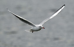 Voo da gaivota acima do rio Imagens de Stock