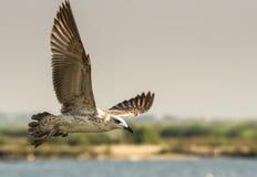 Voo da gaivota de arenques Foto de Stock