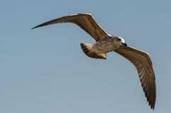 Voo da gaivota de arenques Foto de Stock Royalty Free