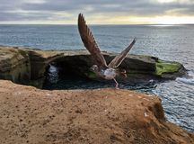 Voo da gaivota de mar fotos de stock