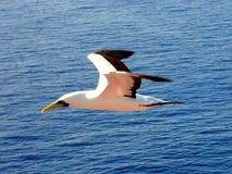 Voo da gaivota de mar baixo Imagem de Stock