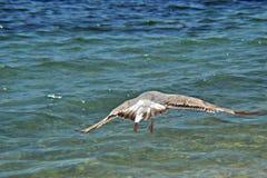 Voo da gaivota de mar branco no céu ensolarado azul sobre a costa do mar da Croácia Fotos de Stock Royalty Free