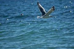 Voo da gaivota de mar branco no céu ensolarado azul sobre a costa do mar da Croácia Imagem de Stock