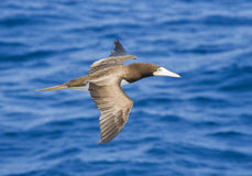 Voo da gaivota do peito de Brown nas Caraíbas fotografia de stock
