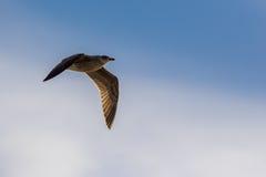 Voo da gaivota em um céu azul Imagem de Stock Royalty Free