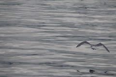 Voo da gaivota na imagem do oceano refletindo calmo do cinza de ligação Fotos de Stock Royalty Free