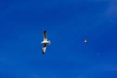 Voo da gaivota no céu Fotografia de Stock Royalty Free