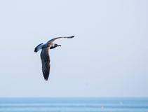 Voo da gaivota no céu durante o dia sobre o mar Imagens de Stock