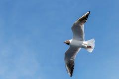 Voo da gaivota no dia de verão no fundo do céu azul Fotografia de Stock Royalty Free
