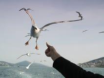 Voo da gaivota para a alimentação Foto de Stock Royalty Free