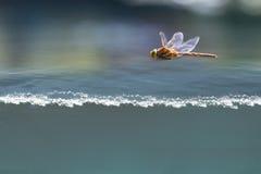 Voo da libélula acima da água fotografia de stock