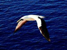 Voo da noite da gaivota Imagem de Stock