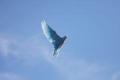 Voo da pomba do azul no céu azul Fotos de Stock