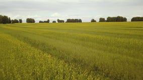 Voo da vista aérea sobre um campo com trigo filme