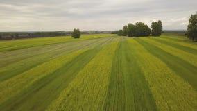 Voo da vista aérea sobre um campo com trigo video estoque