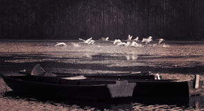Voo das cisnes Fotografia de Stock Royalty Free