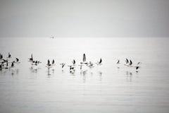 Voo das gaivota de mar Fotografia de Stock