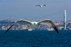 Voo das gaivotas imagens de stock