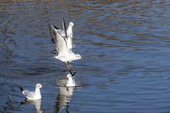 Voo das gaivotas Fotos de Stock Royalty Free