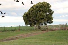 Voo de Bandurrias na plantação do feijão de soja Fotografia de Stock