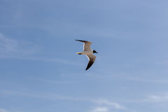 Voo de cabeça negra da gaivota no céu Fotos de Stock