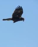 Voo de Marsh Harrier Imagens de Stock Royalty Free